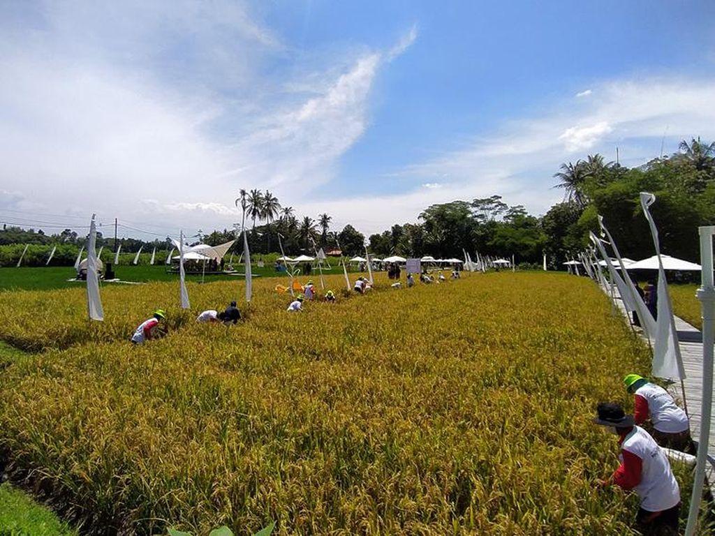 Ini Wisata Sawah di Borobudur, Mau Diduplikasi Mentan di Daerah Lain