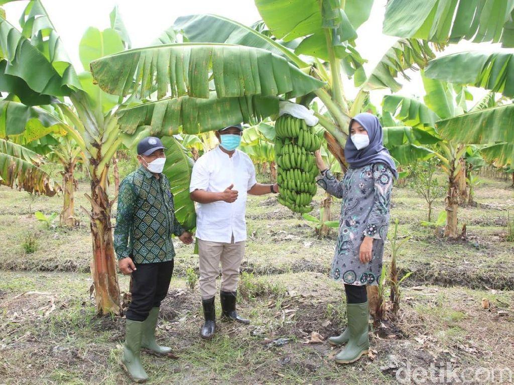 Tinjau Sentra Bibit Hortikultura, Bupati Ipuk: Buah Lokal Harus Jadi Juara
