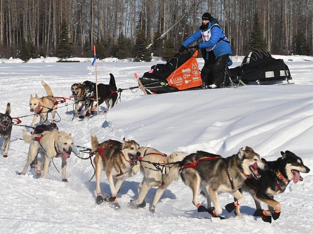 Serunya Balap Kereta Luncur Anjing di Alaska