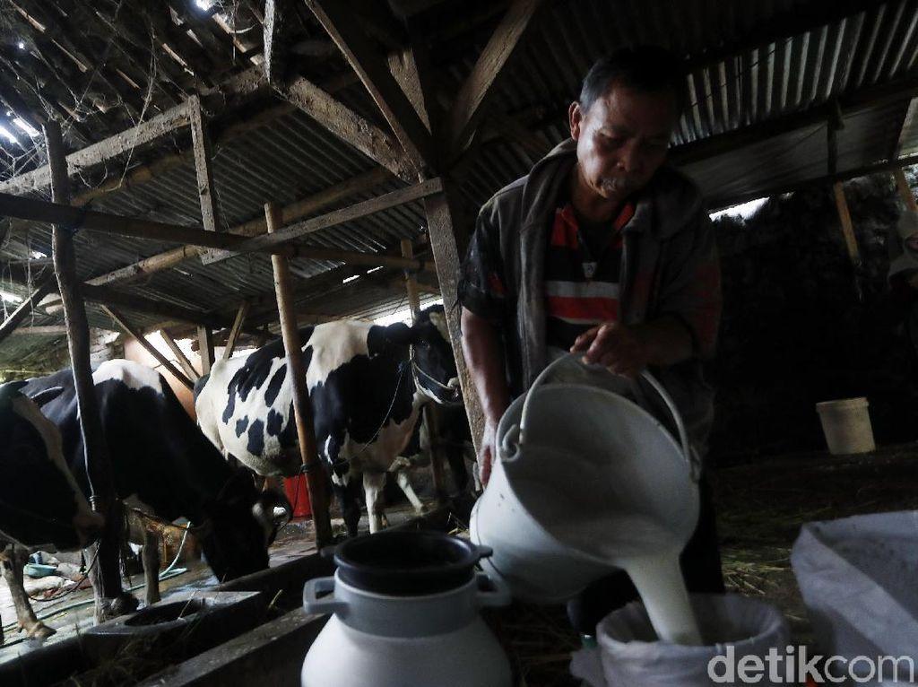 Produksi Susu 6 Ton/Hari, Peternak Desa Bocek Hasilkan Puluhan Juta