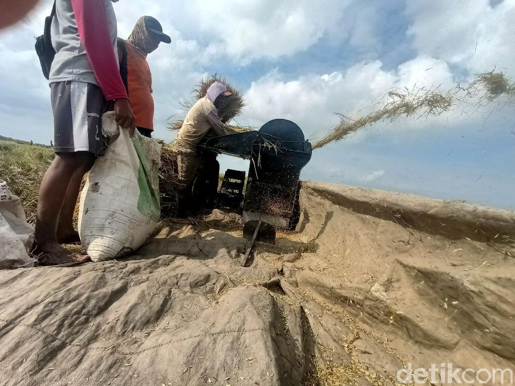Hasil Panen Petani Karawang Menurun 20 Persen Akibat Banjir