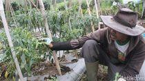 Harga Cabai Rawit Mahal, Petani di Lembang Ungkap Penyebabnya