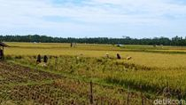 Harga Jual Gabah Anjlok, Petani di Pangandaran Merugi