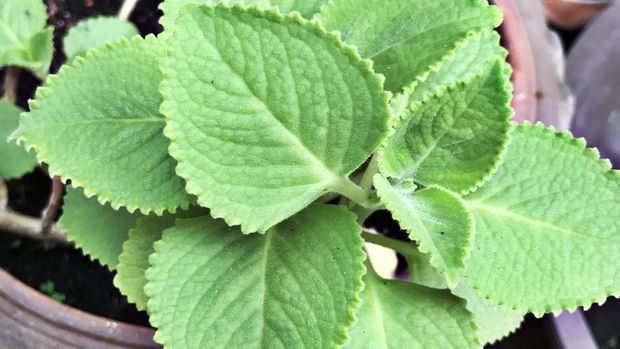 Plectranthus amboinicus or Mexican mint or Tiger's ear plant.
