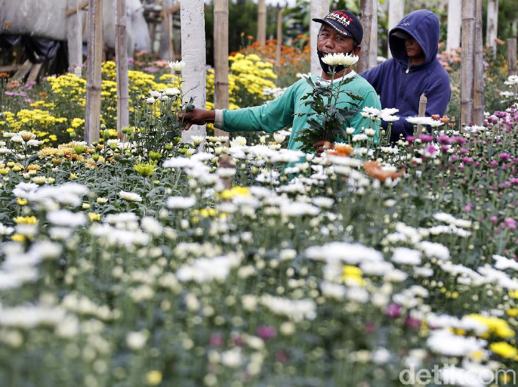 Usaha Petani agar Krisan Tetap Mekar di Tengah Sulitnya Pandemi