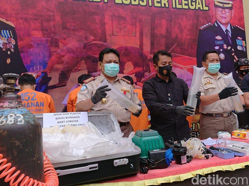 Penyelundupan Benih Lobster Senilai Rp 5 M Lewat Bandara Juanda Digagalkan