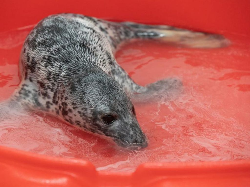 Sedih, Bayi Anjing Laut Ini Yatim Piatu dan Kekurangan Nutrisi