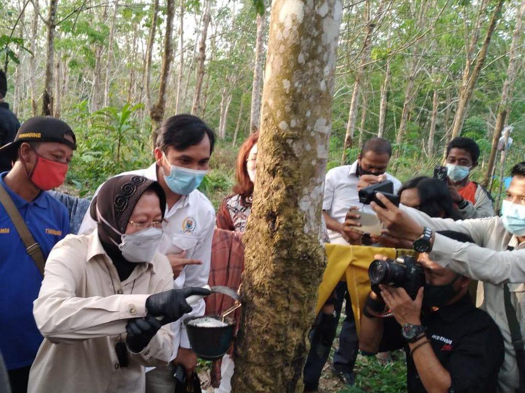 Ketua DPRD Jambi Ajari Risma Nyadap Karet di Sela Kunjungan Kerja
