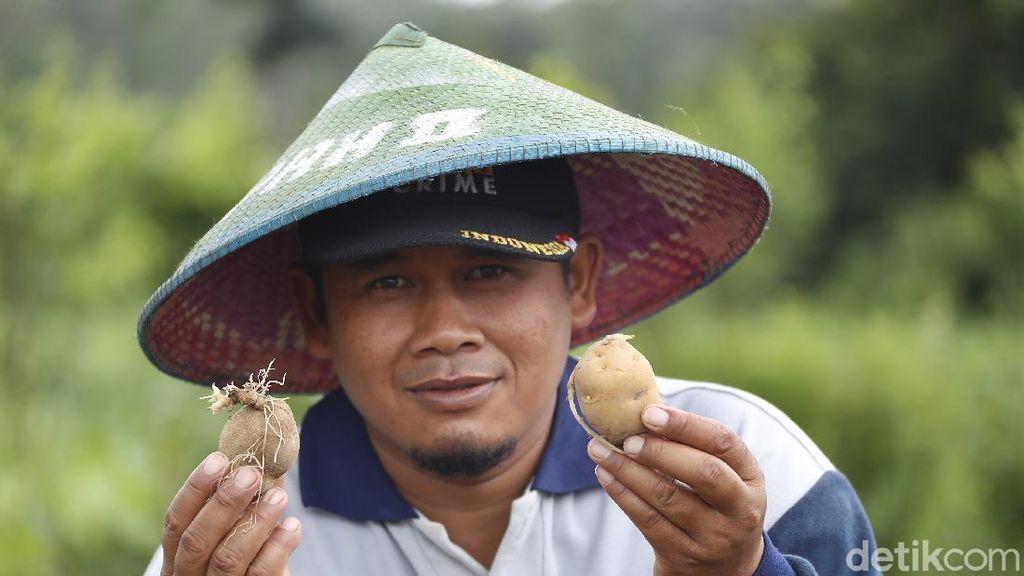 Potret Petani Kentang di Malang yang Panen Miliar Rupiah