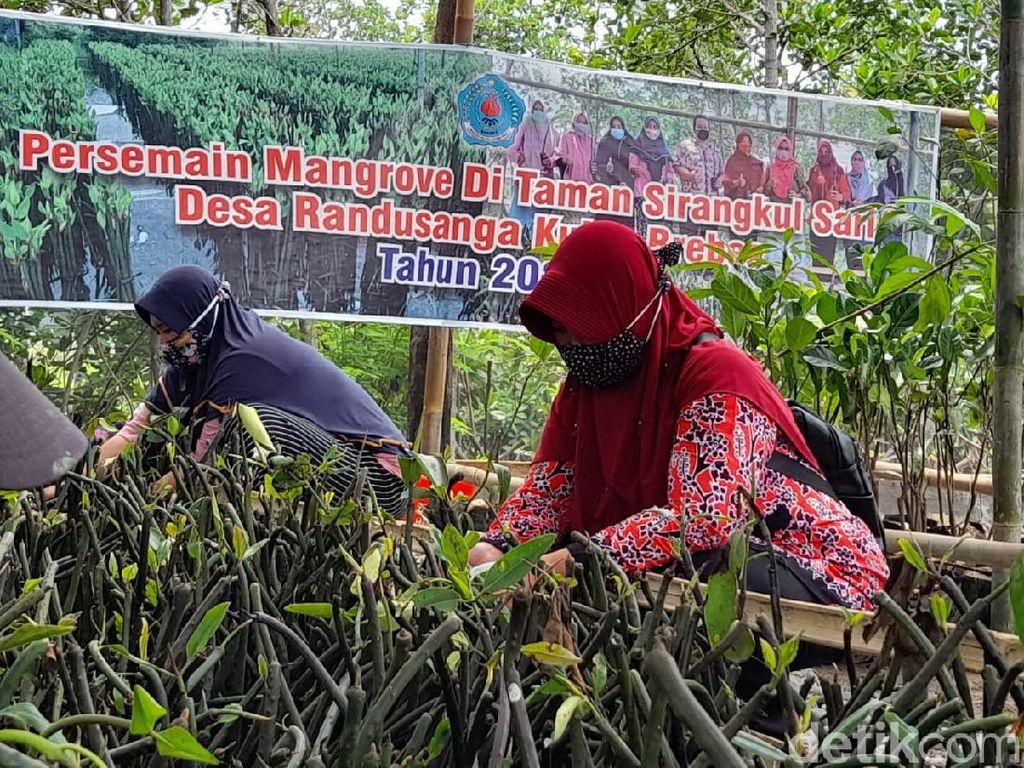 Melihat Desa di Brebes yang Digadang Jadi Mangrove Center Nasional