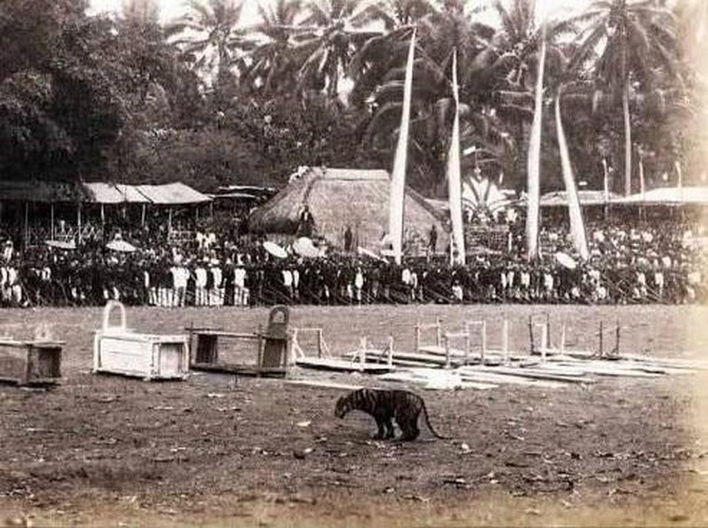 Rampogan Macan di Blitar Dilarang pada 1910 Karena Bikin Harimau Makin Dikit