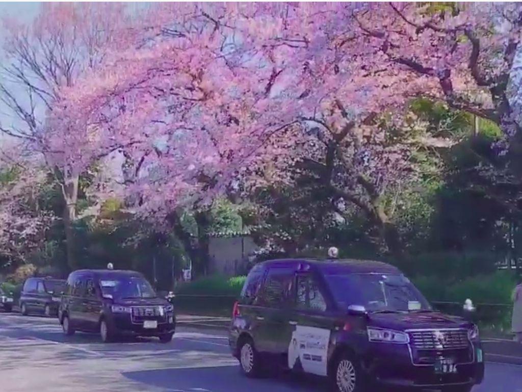 Sakura di Jepang: Piknik Dilarang, tapi Ada Taksi Khususnya Nih
