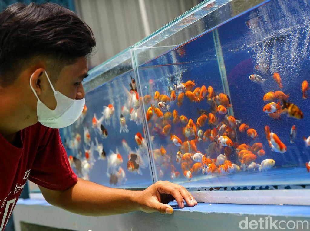 Asyiknya Berburu Ikan Koi dan Maskoki di Kala Pandemi
