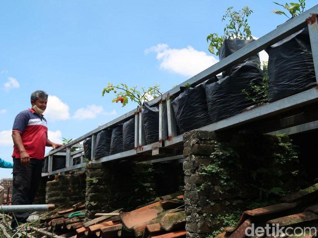 Harga Cabai Naik Ora Urus! Wong Ada Kebun Sendiri di Atap Rumah