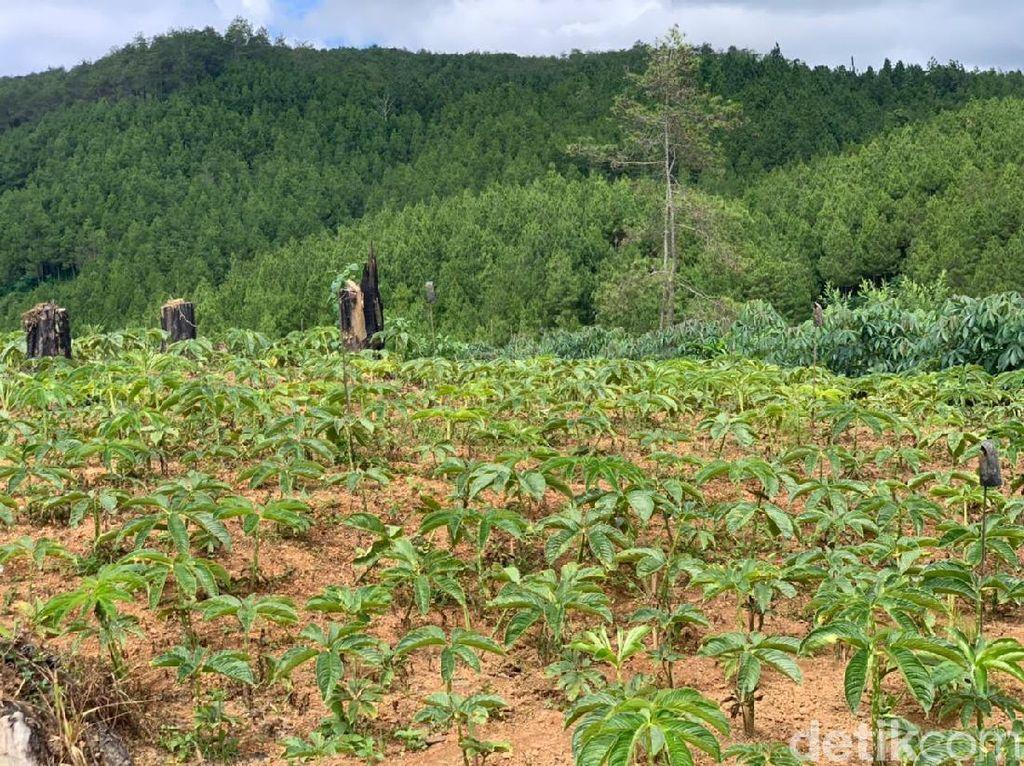 Dinas Pertanian Ponorogo Sarankan Petani Jual Bibit Porang