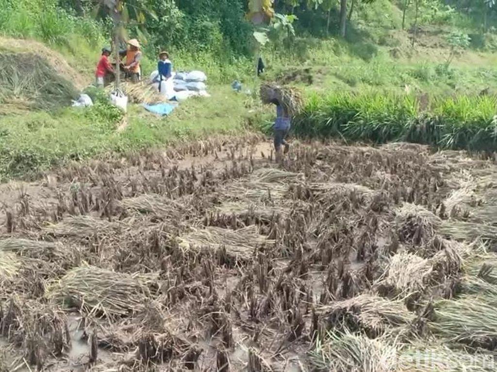 Sawah Rusak Diterjang Banjir, Petani Magetan Panen Padi Lebih Awal