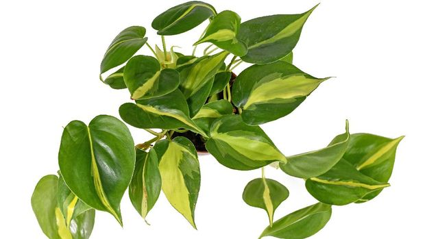 Top view of tropical 'Philodendron Hederaceum Scandens Brasil' creeper house plant with yellow stripes isolated on white background