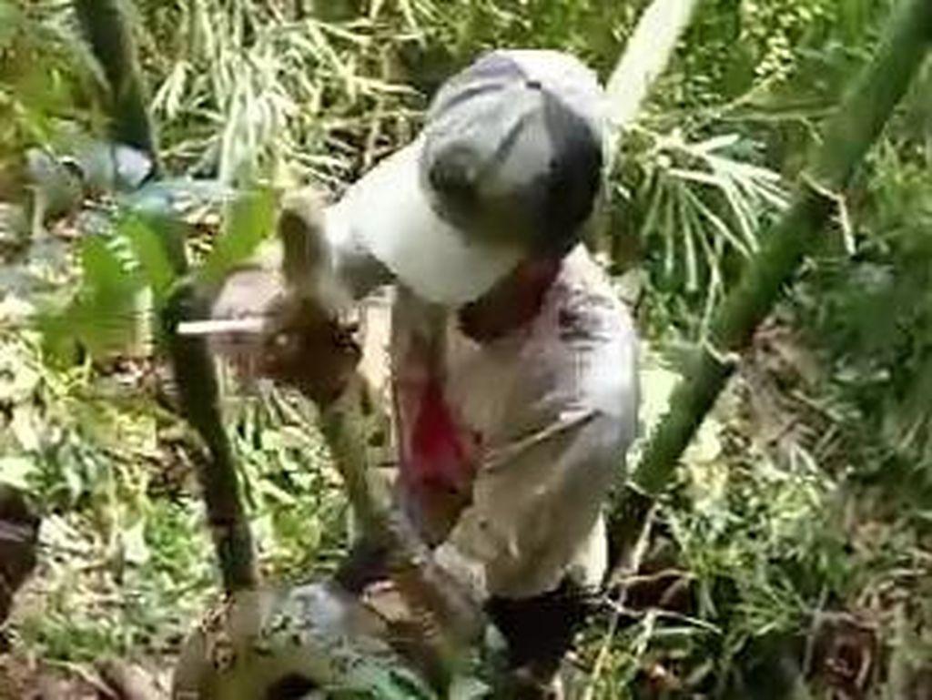 Hii! Ular Piton 6 Meter Nongol dari Rumpun Bambu di Sragen