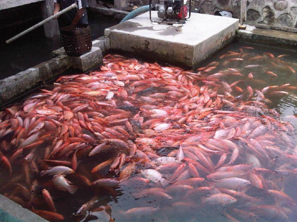 Budidaya Mudah & Harga Jual Tinggi, Bisnis Ikan Nila Banyak Dilirik