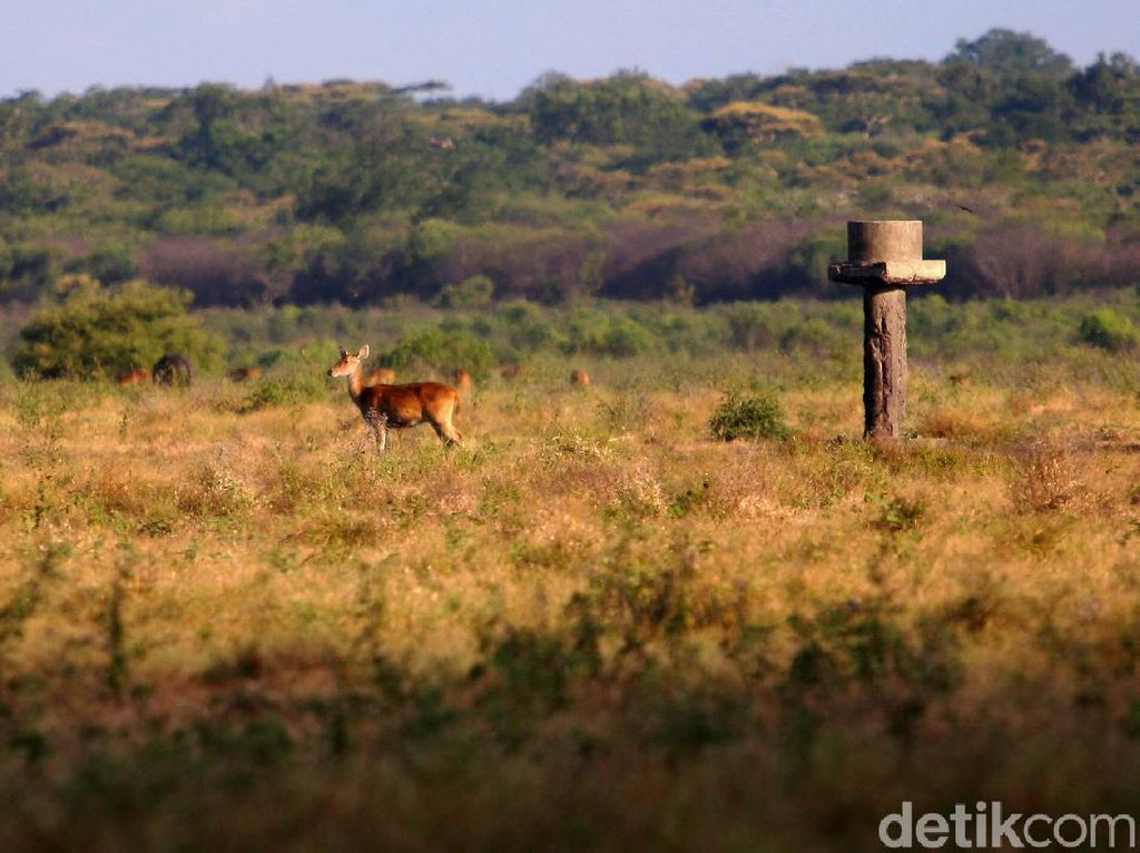 Bukan di Afrika, Ini Sabana di Taman Nasional Baluran
