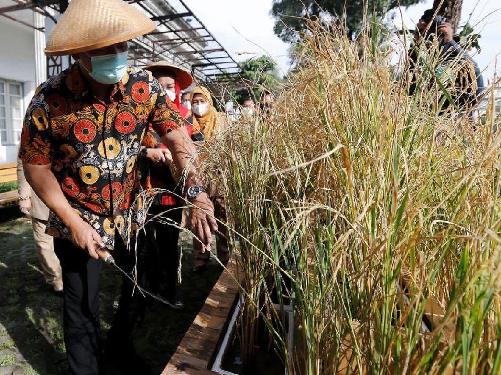 Cara Walkot Hendi Contohkan Urban Farming Lewat Panen Padi di Kantor
