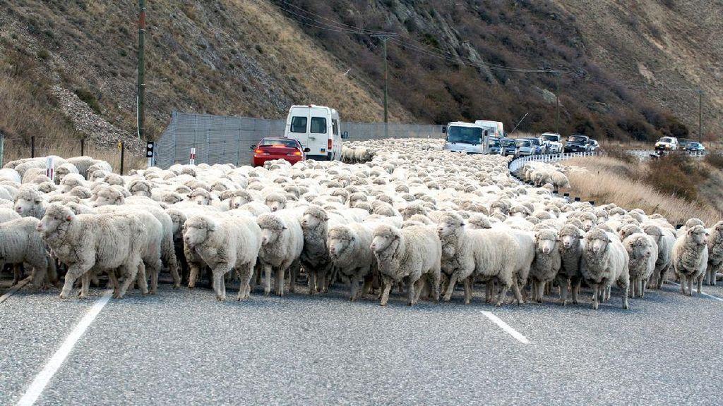 Potret Negara yang Kebanyakan Domba