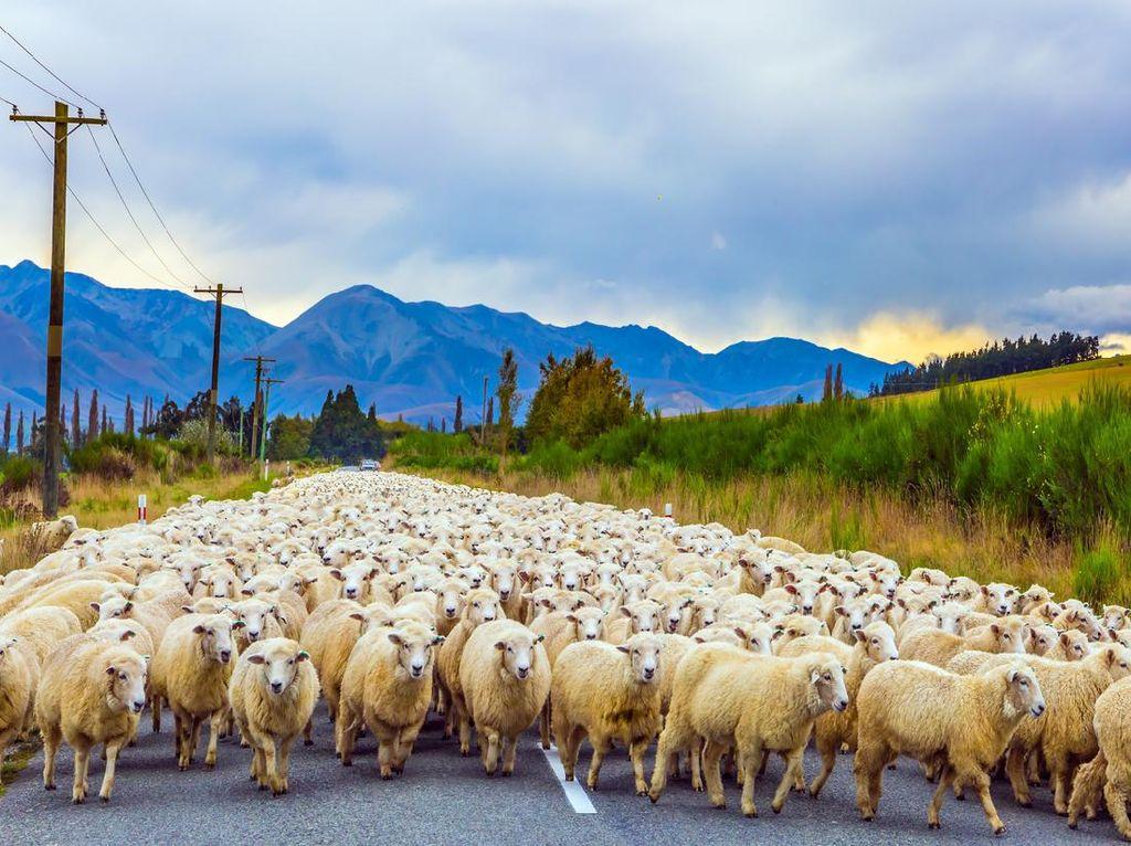 Mbeeek.. Negara Ini Punya Lebih Banyak Domba dari Manusia