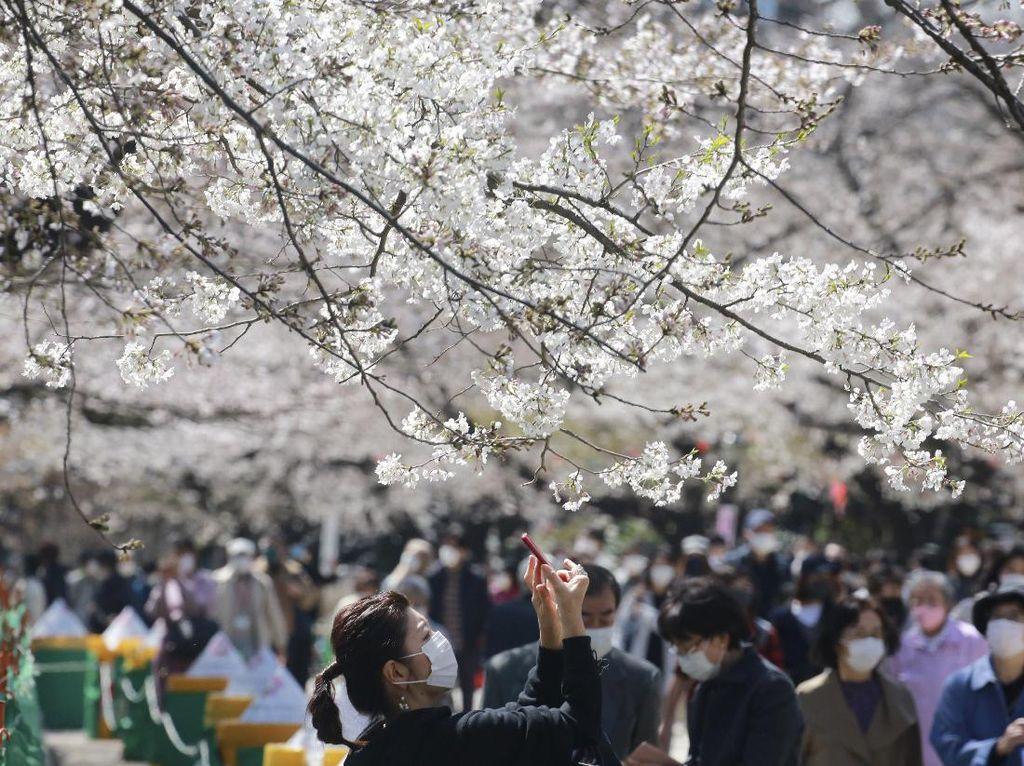 Terpukau Indahnya Sakura Saat Bermekaran di Tokyo