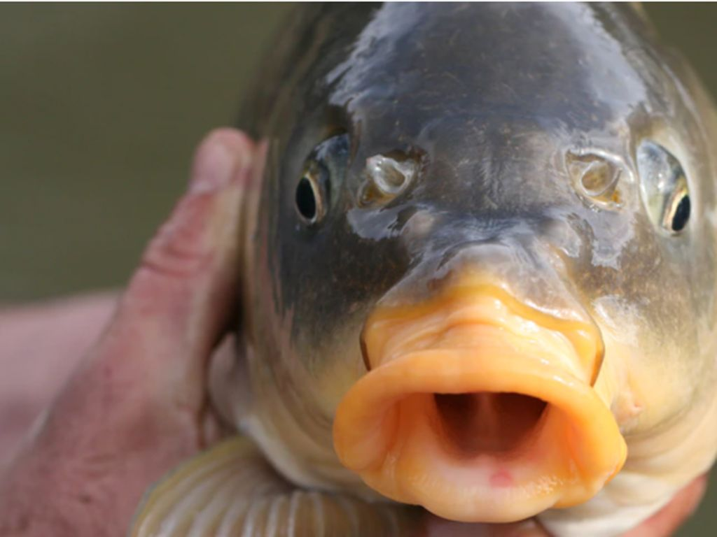 LIPI: Ikan Mas Disebut Hama, Namun Aman untuk Dikonsumsi