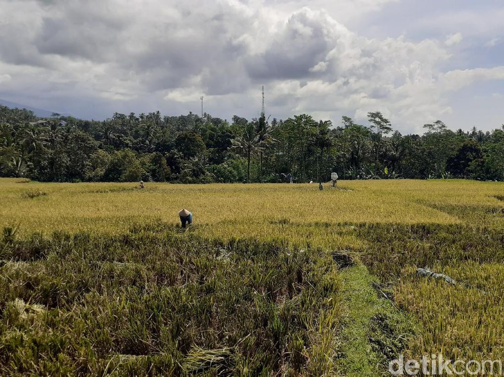 Petani Banyuwangi Risau Harga Gabah yang Terus Merosot Jelang Panen Raya