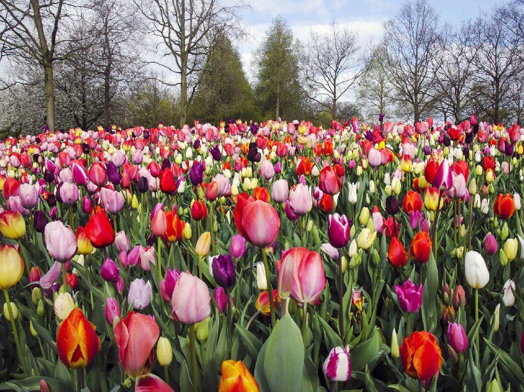 Segarkan Mata dengan Foto Jutaan Bunga Tulip di Belanda