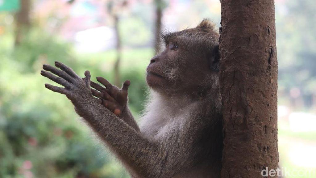 Konon, Jumlah Monyet di Obyek Wisata Ini Tidak Bertambah atau Berkurang