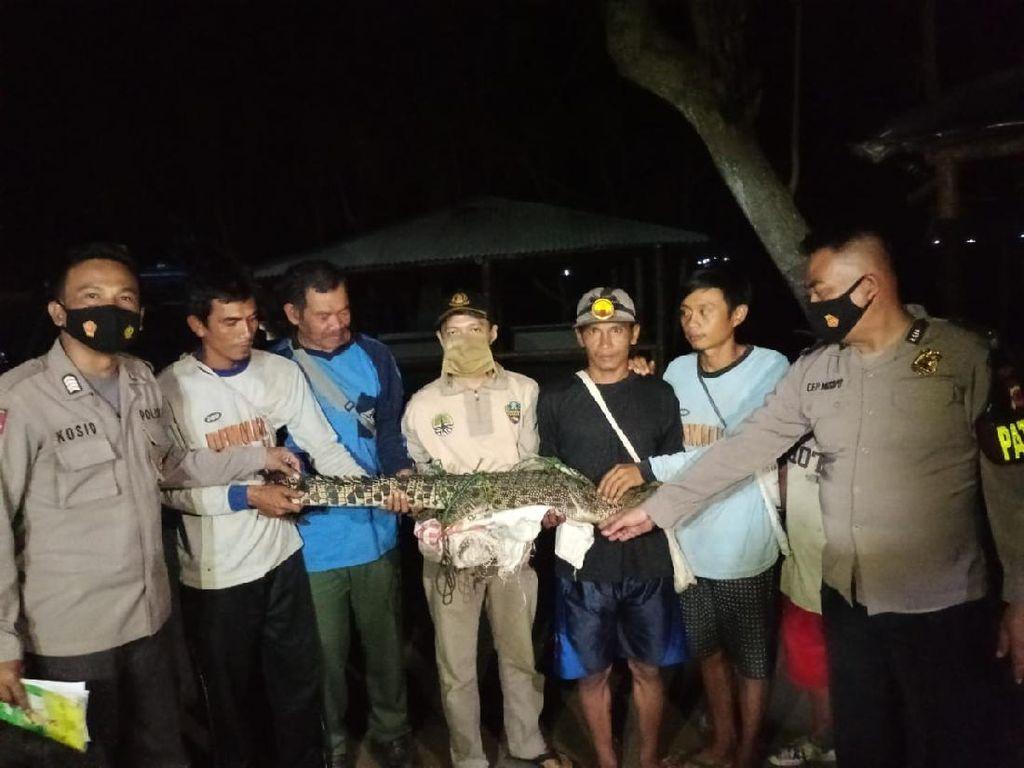 Bikin Resah, Buaya 2 Meter Ditangkap Warga Cianjur