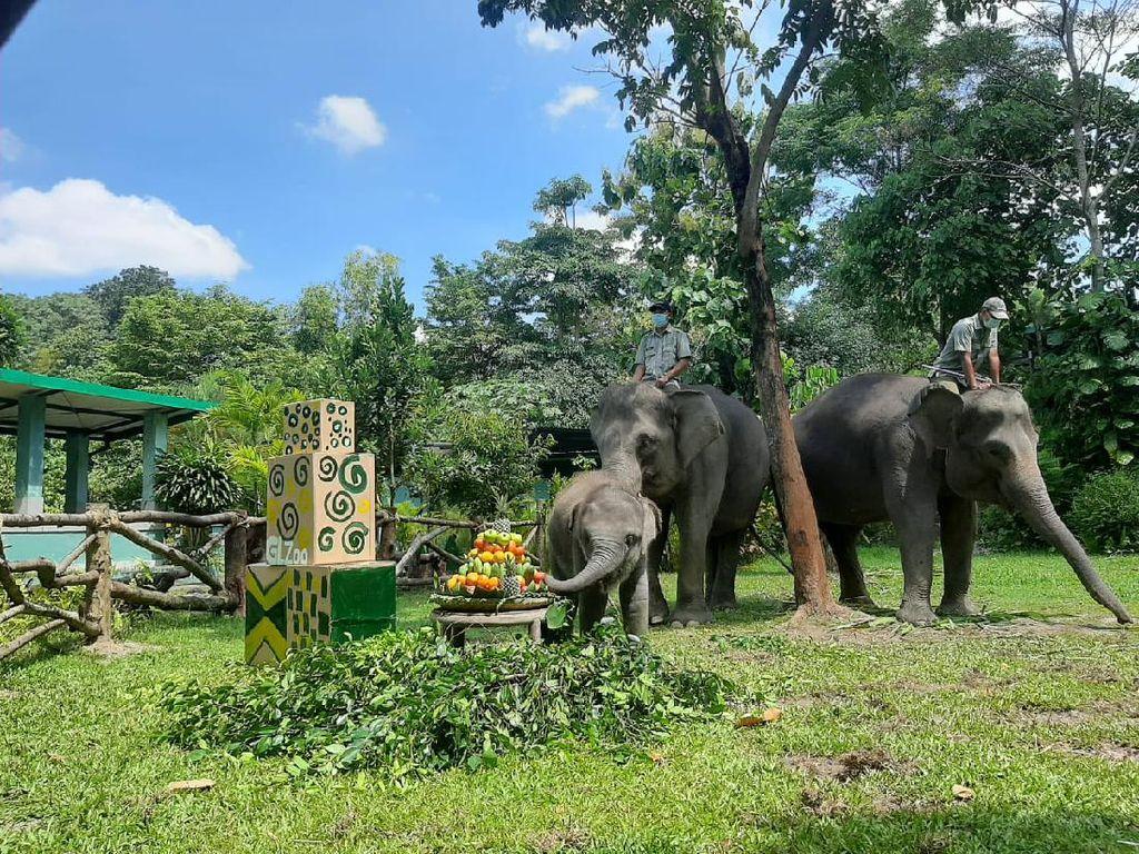 Bayi Gajah Ultah, Gembira Loka Zoo Bikin Tumpeng