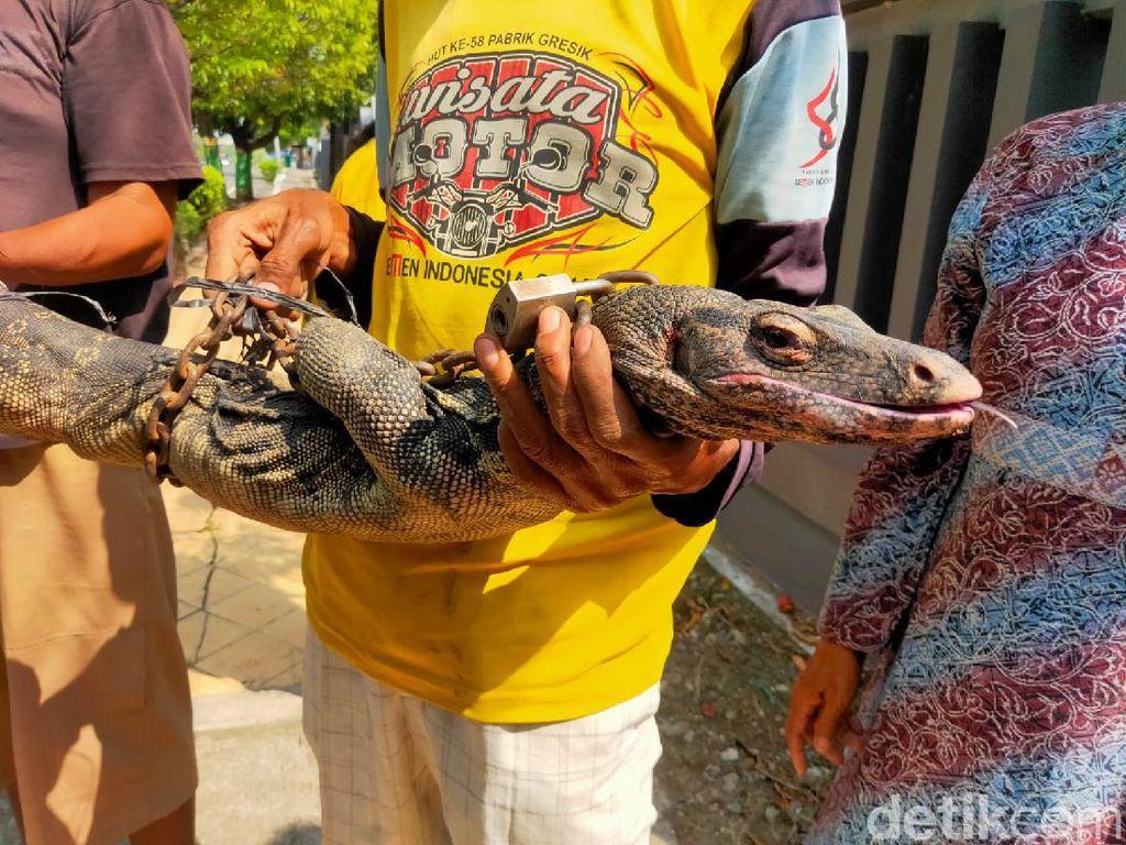 Biawak Besar Ditangkap Tukang Becak Sekitar Gedung DPRD Tuban
