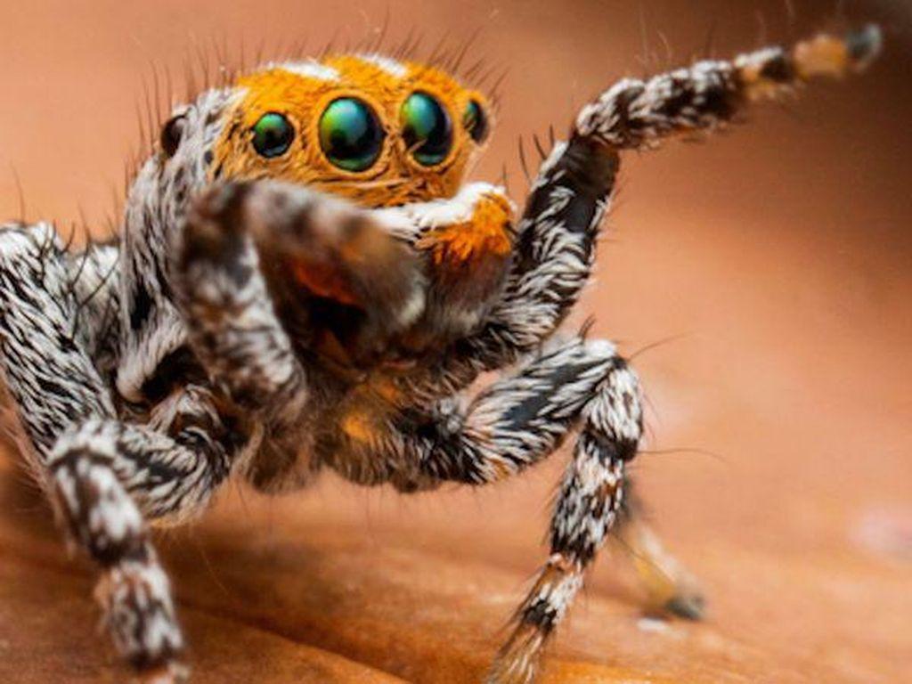 Imut! Spesies Laba-laba Ini Diberi Nama Nemo Seperti Kartun