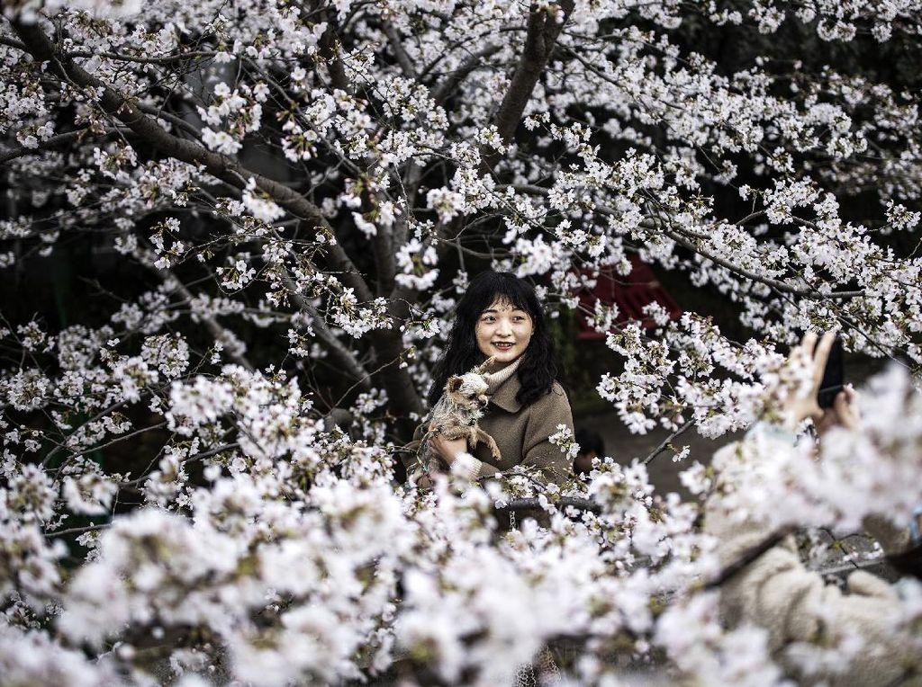 Fakta Menyedihkan di Balik Mekarnya Bunga Sakura di Jepang