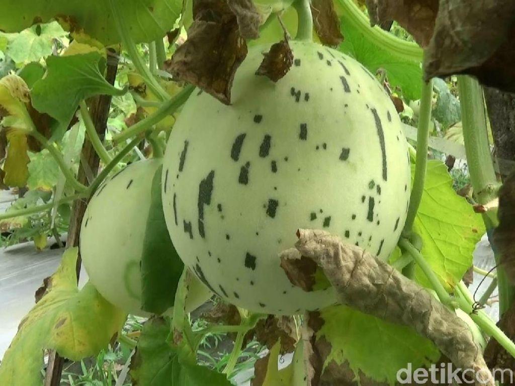 Petani Kota Probolinggo Sukses Tanam Melon Kelas Menengah ke Atas