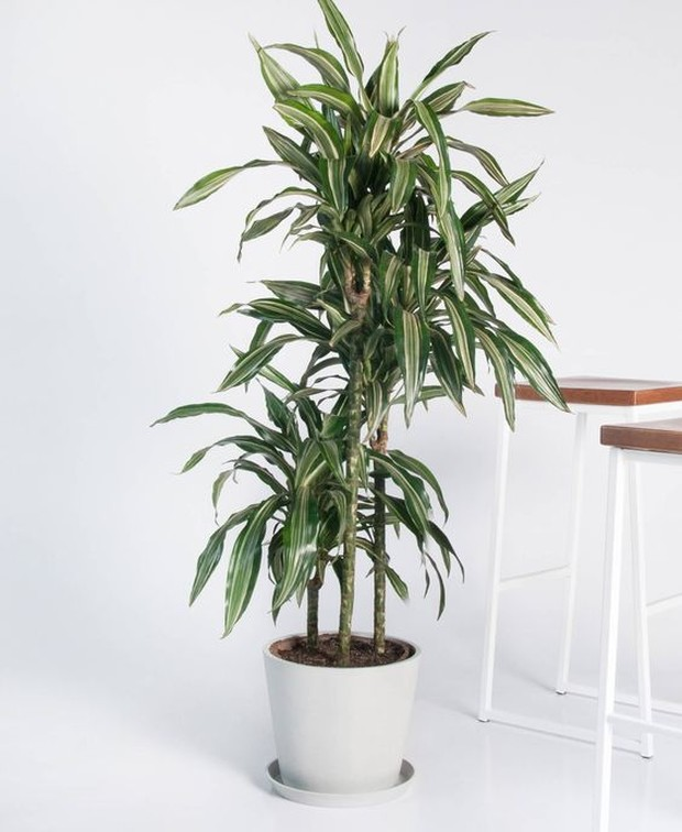 Memiliki ukuran yang tinggi dan perawatan mudah, tanaman ini mempunyai banyak peminat.