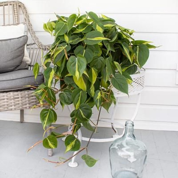 Philodendron Brasil akan terlihat cantik jika diletakkan dekat jendela atau rak.
