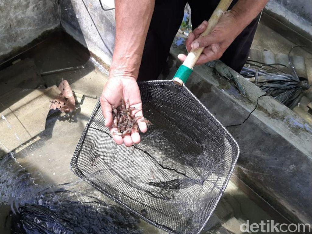 Melihat Budi Daya Lobster Air Tawar di Gunungkidul
