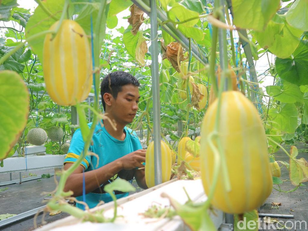 Petani di Kudus Tanam Melon Hidroponik, Sekali Panen Raup Puluhan Juta