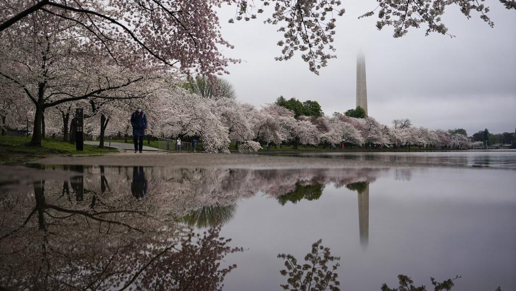 Indah Banget! Foto-foto Bunga Sakura Bermekaran di Washington