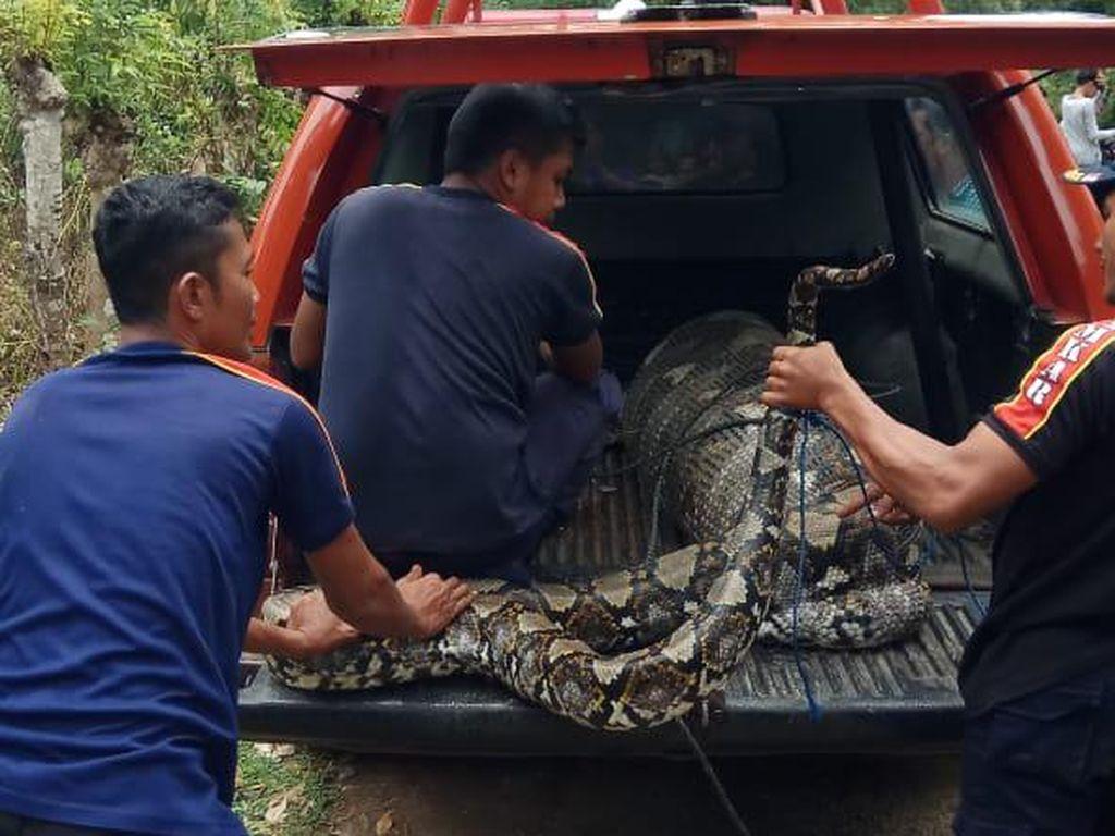 Hiii... Ular Piton 7 Meter Ditangkap Usai Telan Lembu Warga Aceh