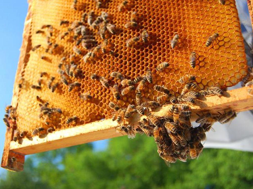 Madu Bisa Dibuat Tanpa Lebah dan Susu Dihasilkan Tanpa Sapi