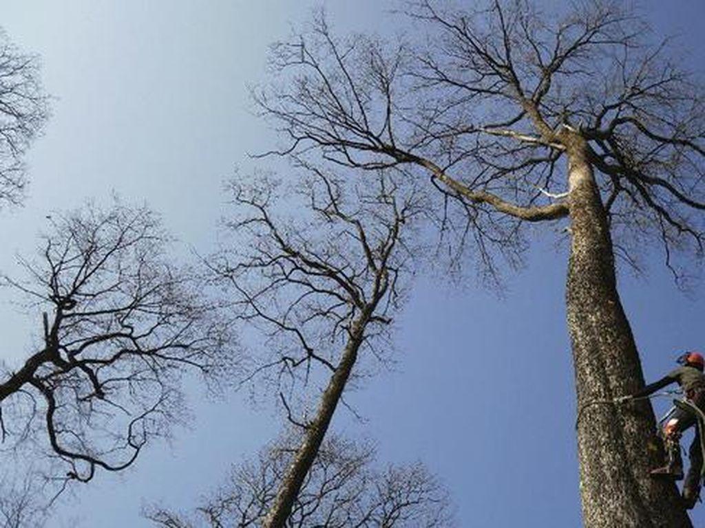 Pohon Ek Ratusan Tahun Jadi Bagian Notre Dame