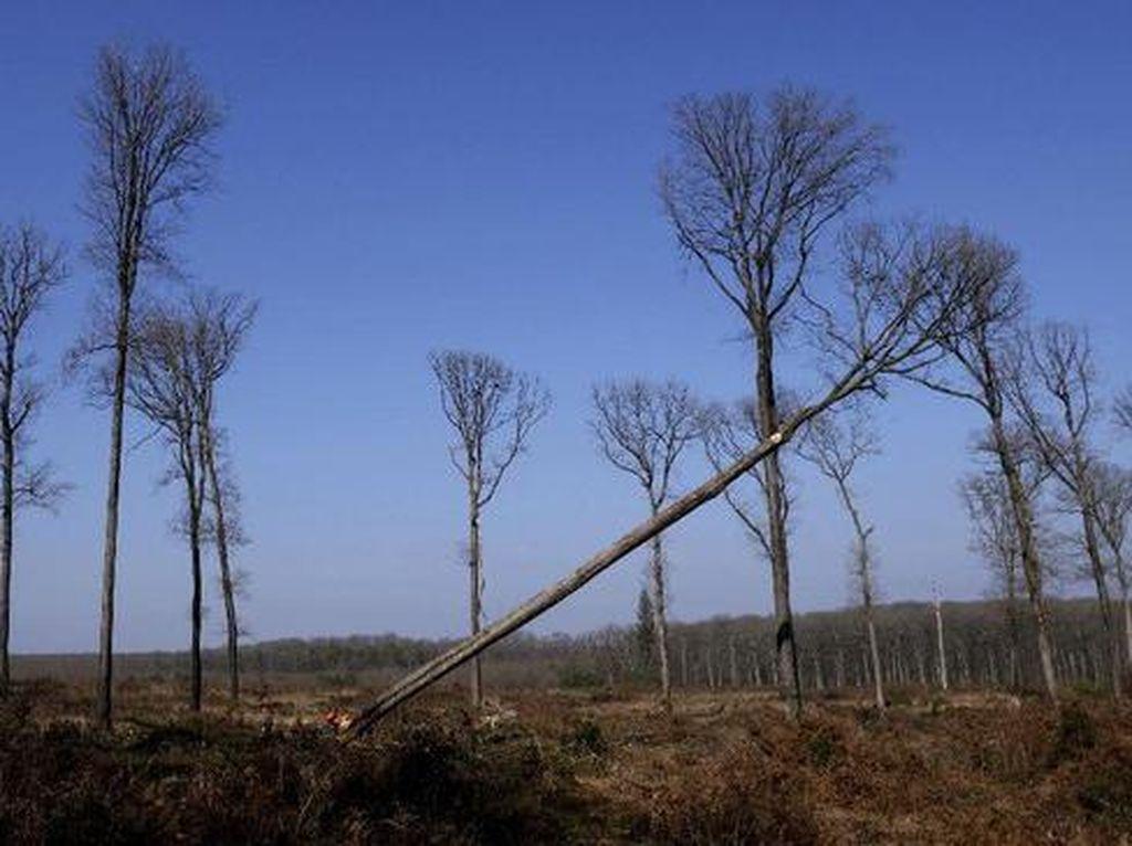 Pohon Ek yang Jadi Penopang Notre Dame