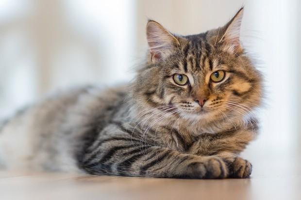 baringkan tubuh kucing