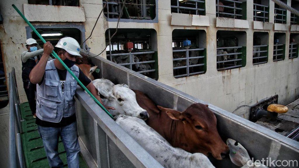 Impor Sapi Australia untuk Jaga Pasokan Kebutuhan Daging Dalam Negeri