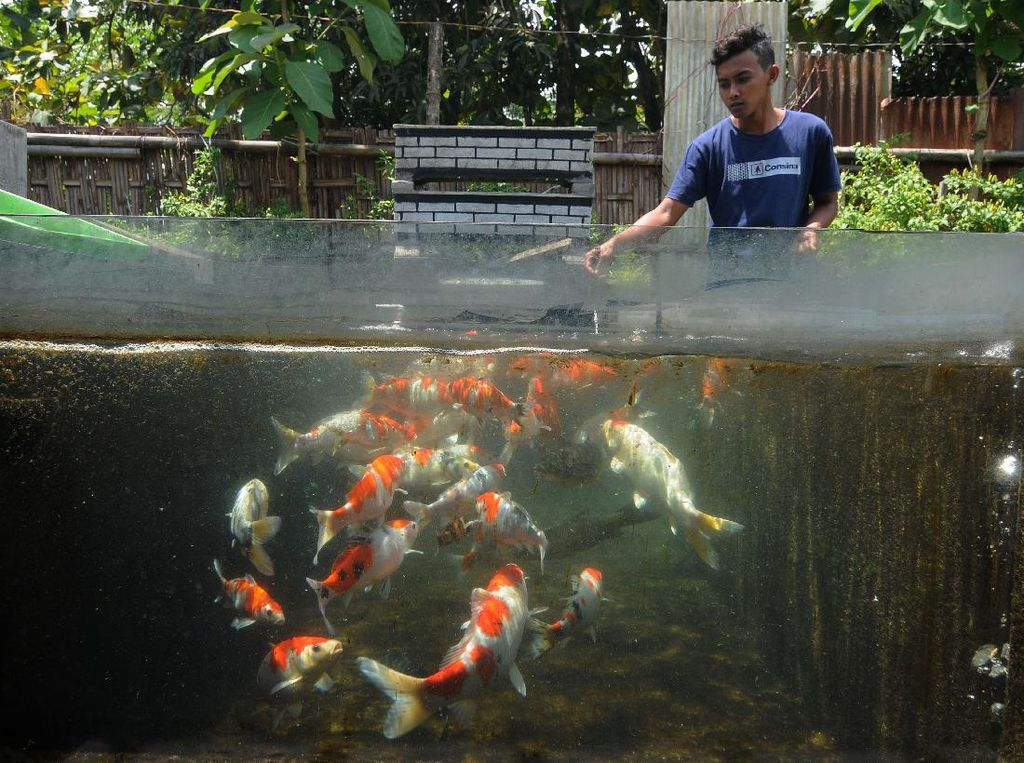 Menengok Budi Daya Ikan Koi di Pondok Pesantren